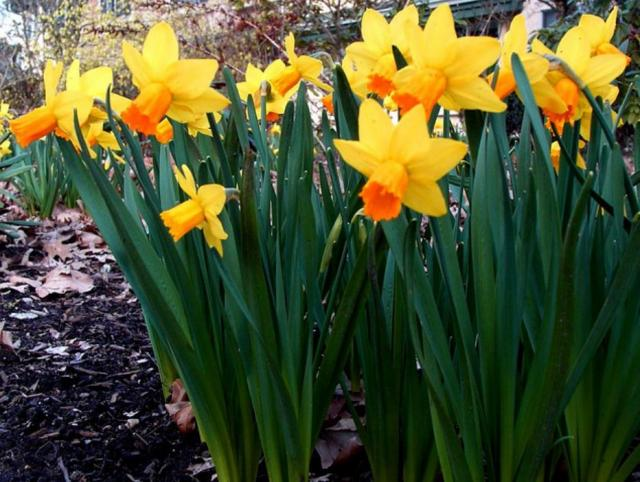 Tall daffodils pictures.JPG