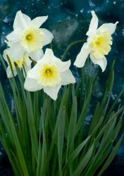 Tall white daffodils pictures.JPG