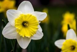 Two toned flowers pictures of daffodils.JPG