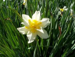 White daffodils blooming in spring.JPG