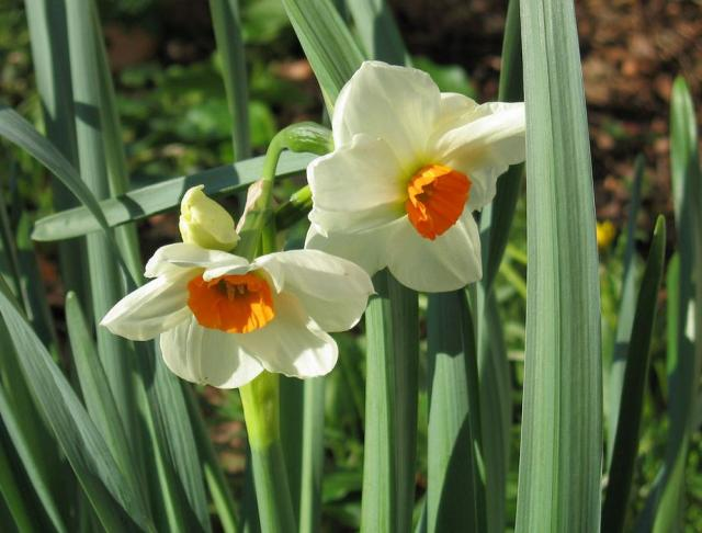 White daffodils flowers with orange yellow centers images.JPG