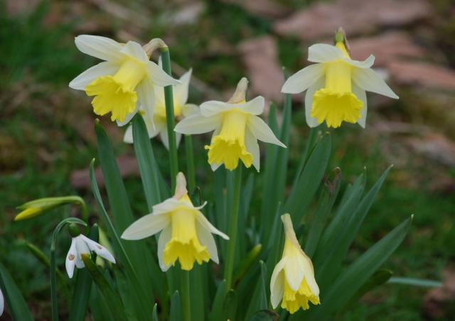 White daffodils photos.JPG