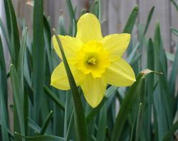 Star look alike flowers picture of daffodils in bright yellow.JPG