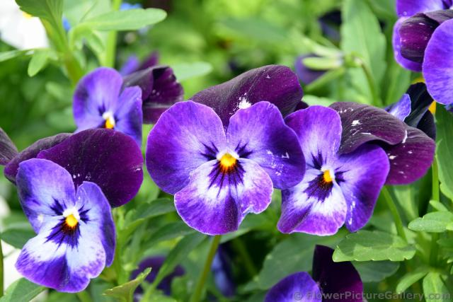 Purple Pansie Flowers with yellow Center from Schwerwin Germany.jpg