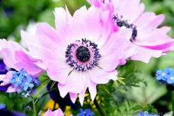 Light Pink Flower with Black Center is Anemone from Germany.jpg