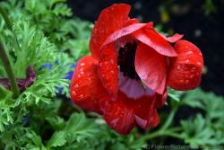 Red Poppy Flower with Water Drops on It.jpg