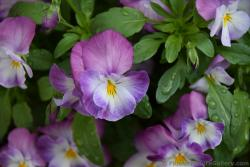 Pink Flower with Yellow Center is Violet from Germany.jpg