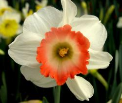 White daffodils with orange centers picuters.JPG