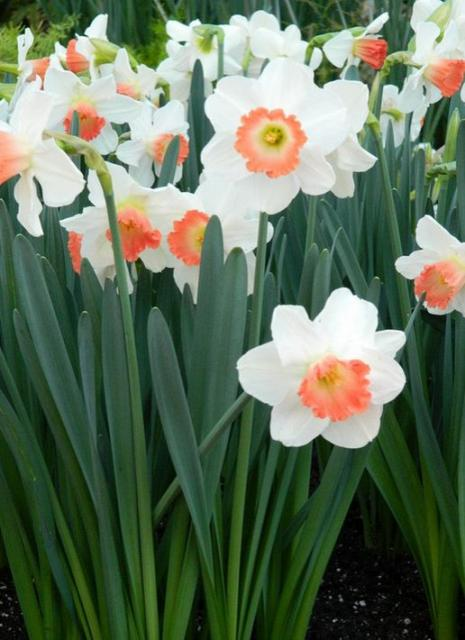 White daffodils with peach centers.JPG
