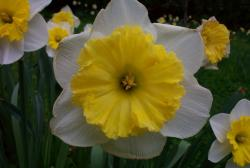 White daffodils with yellow center photos.JPG