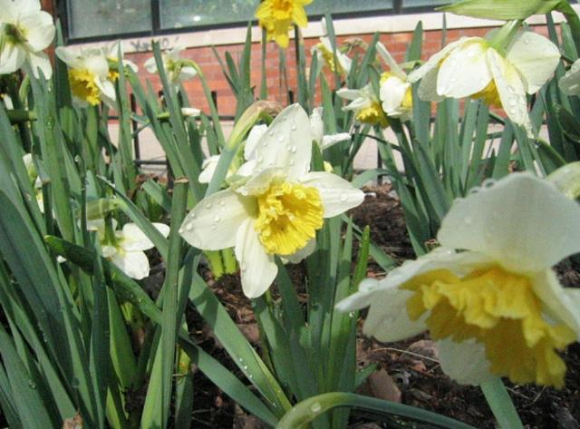 White daffodils with yellow centers.JPG