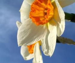 White orange daffodils pictures.JPG
