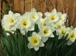 White daffodils picture.JPG