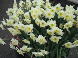 White daffodils pictures.JPG