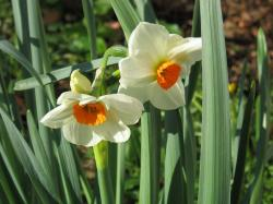 White daffodils with orange centers photos.JPG