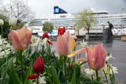 Pink and Red Tulips with Norwegian Star Cruise Ship in background.jpg
