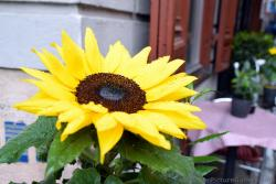 Big Yellow Sunflower with Rain Drops on It.jpg