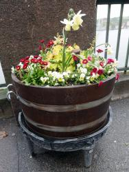 Daffodil in Planter with Other Red & White Flowers.jpg