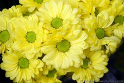 Yellow Daisies with Lime Green Center from Rome Italy.jpg