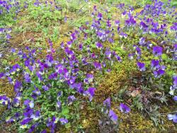 Purple Flowers with Yellow Center from Flam Norway.jpg