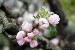 Pink and White Flowers on a Norwegian Tree.jpg