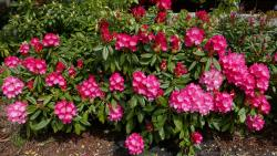 Pink Rhododendron Flowers of Norway.jpg