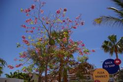 Pink Flower Dogwood Tree of Cabo San Lucas.jpg