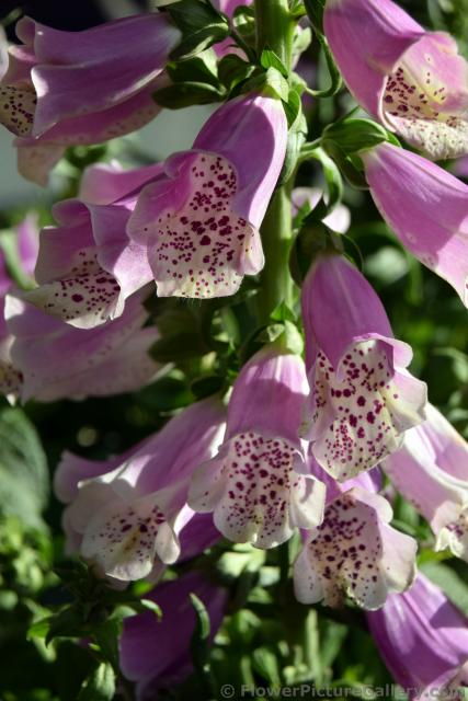 Pink Digitalis Purpurea Common Foxgrove Flowers Shaped Like Bell in Tivoli Gardens.jpg