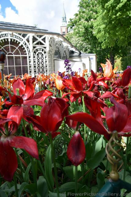 Red Tulips that have Bloomed @ Tivoli Gardens Denmark.jpg