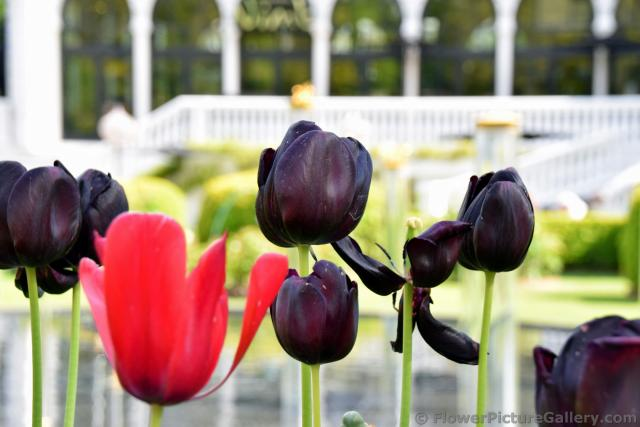 Black Tulips with a Red One at Tivoli Gardens.jpg