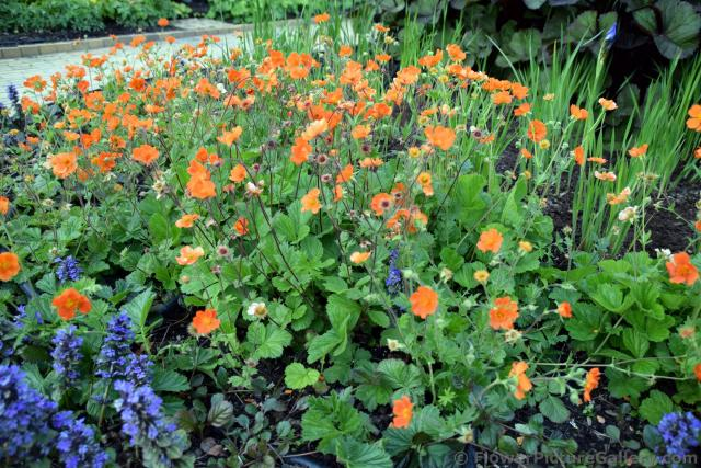 Field of Orange Flowers @ Tivoli Gardens Copenhagen.jpg