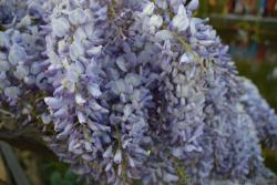 Purple and White Syringa Lilac Flowers of Scandinavia.jpg