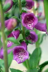 Bell Shape Purple Flowers Identified as Digitalis Purpurea.jpg