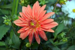 Orange Flower with Many Petals in Layers & Yellow Golden Ball Center Identified as Dahlia.jpg