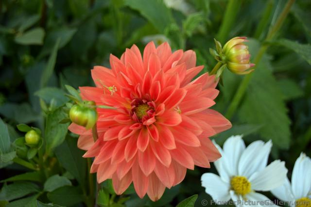 Danish Orange Dahlia Flower.jpg