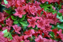 Red Lilies of Northern Europe.jpg