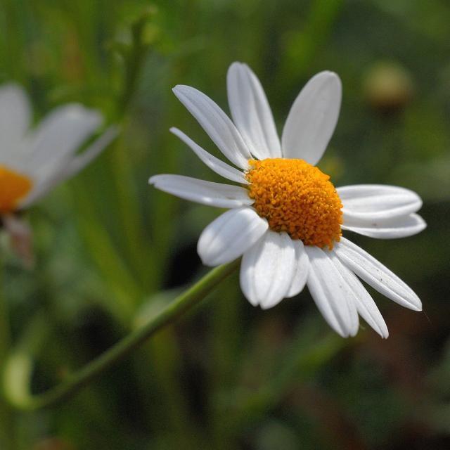 Daisy In Nature.jpg Hi-Res 720p HD