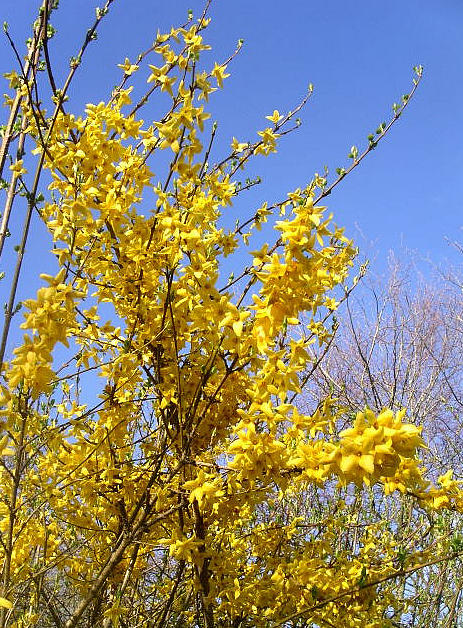 Beautiful flowers of Forsythia in bright yellow.PNG