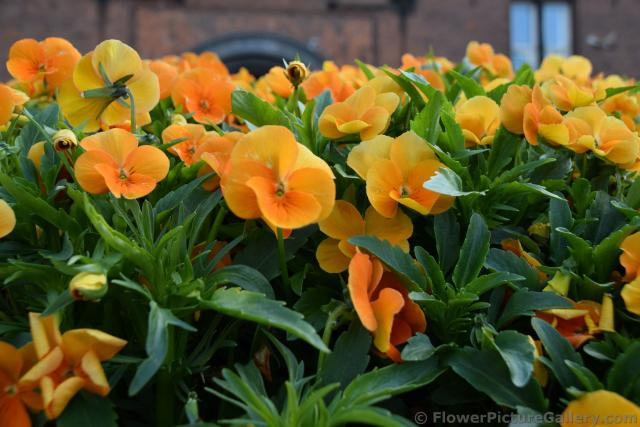 5 Petal Orange Flowers are Pansies of Northern Europe.jpg