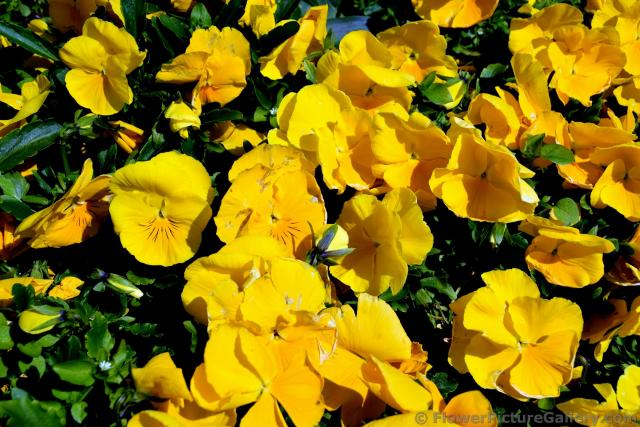 Yellow Pansy Flowers of Denmark.jpg