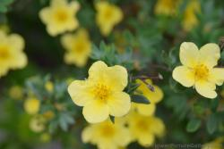 Yellow Five Petal Flowers Called Buttercup in Northern Europe.jpg