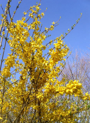 Forsythia Flowers Pictures Gallery