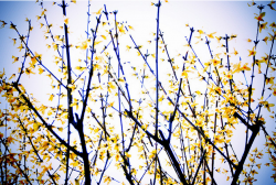 Artistic Forsythia flower picture.PNG