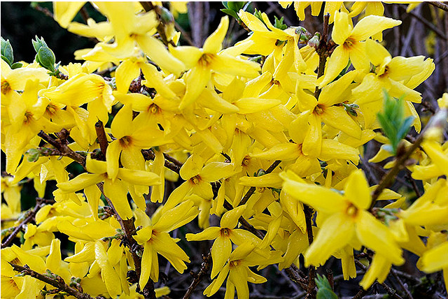 Bright Small Yellow Flowers Of Forsythia Png