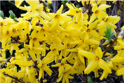 Bright small yellow flowers of Forsythia.PNG