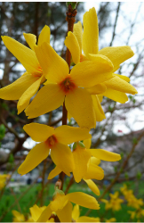 Close up picture of Forsythia in dark yellow with orange centers.PNG