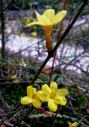 dwarf flower Forsythia.PNG