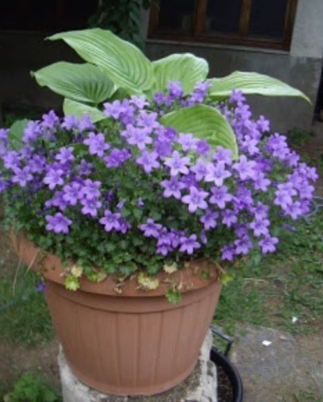 Flowers with big green leavesg purple flowers with big green leavesg mightylinksfo Images