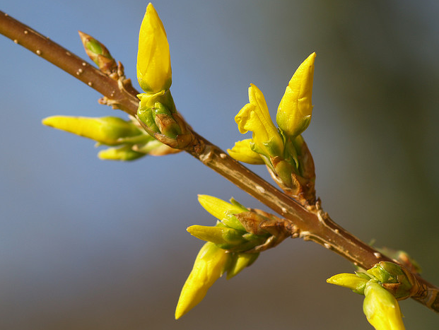 Forsythia buds picture.PNG