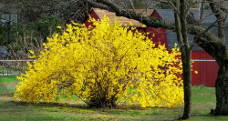Forsythia dwarf shrubs.PNG